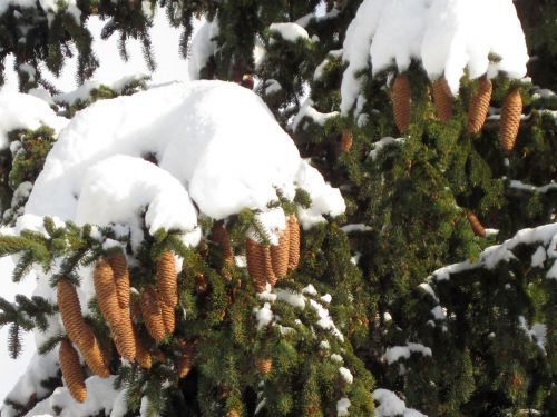 Snow Covered Fir Cones