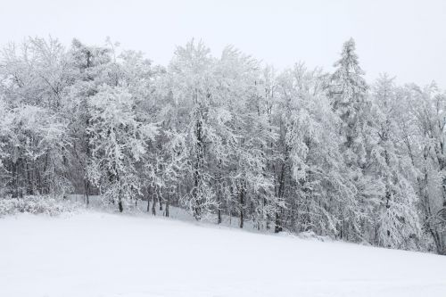 Snow Covered Forest