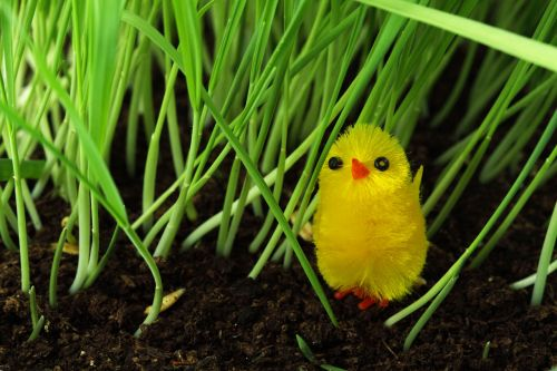 Chick In Grass
