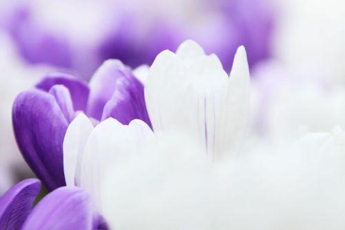 fonas, Crocus, gėlė, sodas, makro, gamta, žiedlapis, violetinė, pavasaris, balta, tapetai, Crocus fonas