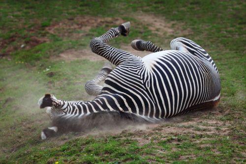 Zebra In Dust