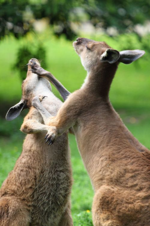 Kangaroo Fight