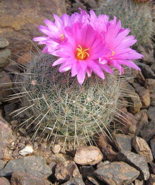 kaktusas, žydi, rožinis, gėlė, žydintis kaktusas