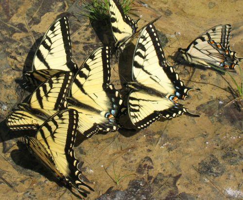 Butterflies Drinking