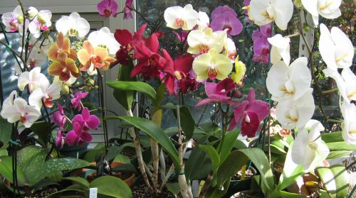 Multi Color Orchids