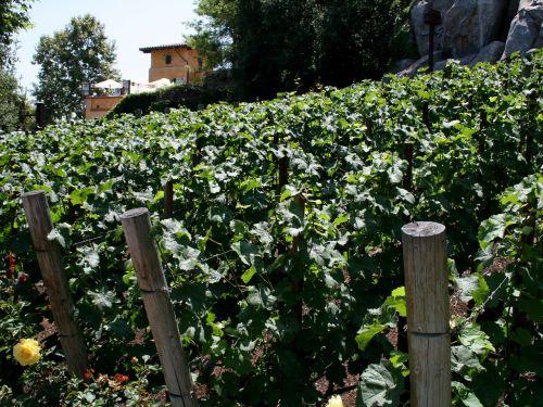 Golden Vine Vineyard