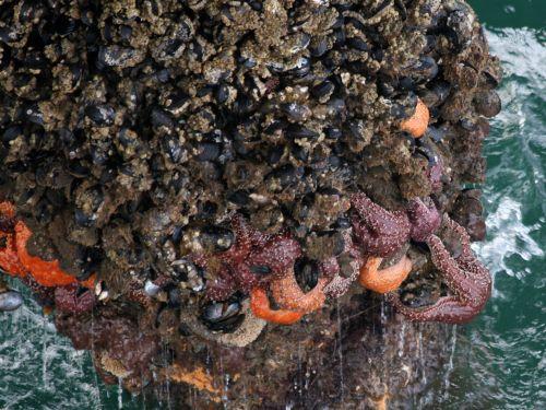 Barnacles And Starfish