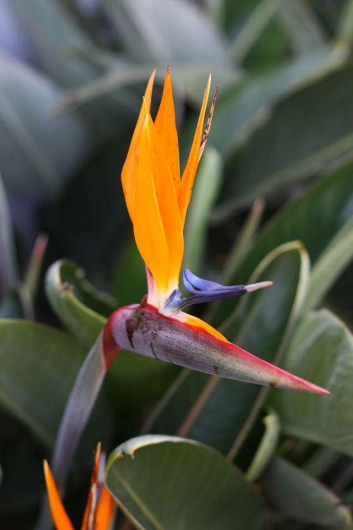 Orange Bird Of Paradise Bloom
