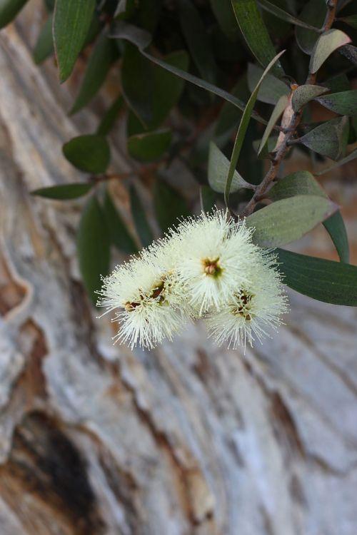 Melaleuca Blossom