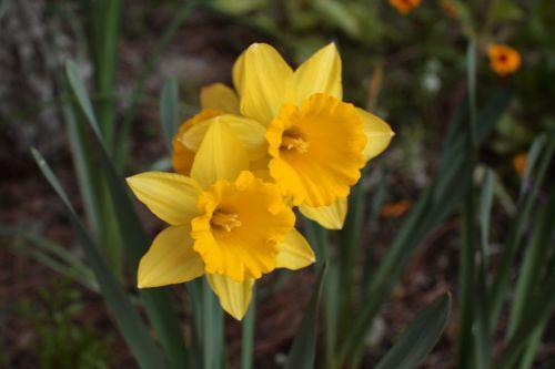 Yellow Daffodil Blooms