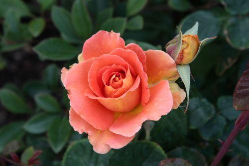 Pink-orange Rose Bloom With Bud