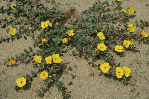 Blooming Beach Primrose