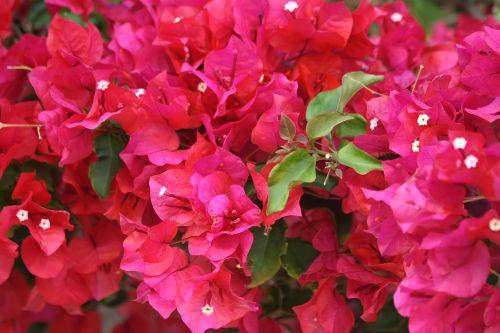 Red Bougainvillea Blossoms