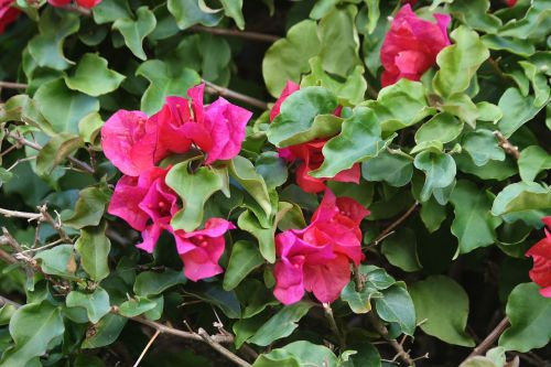 Bougainvillea With Red Blossoms