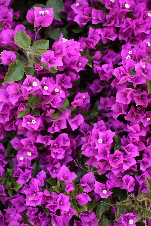 Bougainvillea With Purple Blossoms
