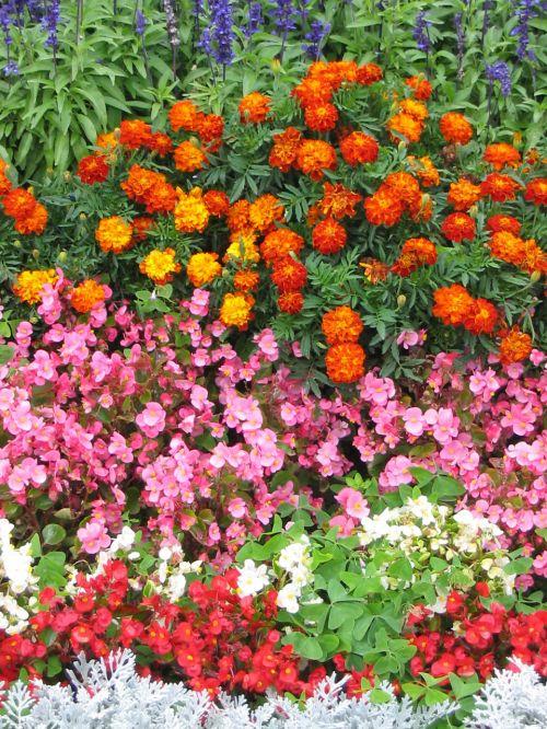 Begonia & French Marigold