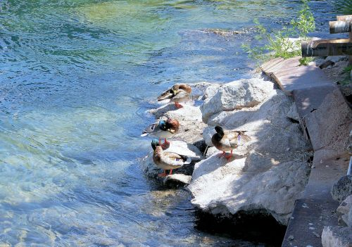 Ducks Cleaning