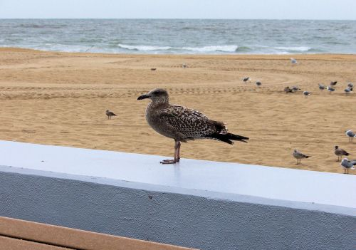Brown Seagull On Ledge
