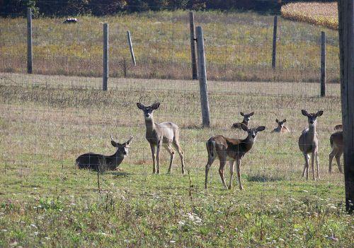 Fenced In Deer