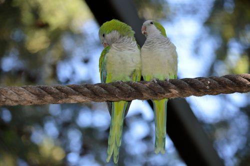 2 Lovebirds