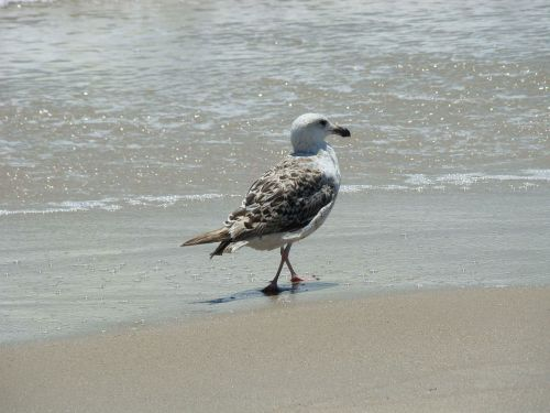 Jogging Gull