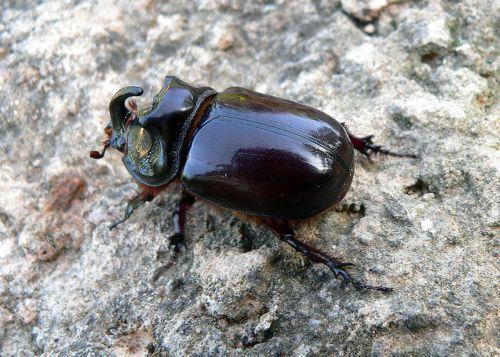 Rhinoceros Beetle 4