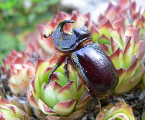 Rhinoceros Beetle 6