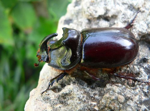 Rhinoceros Beetle 8