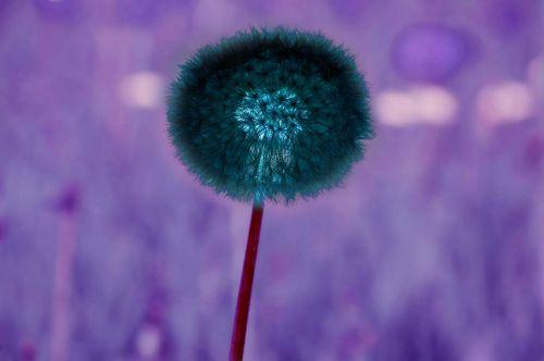 The Big Dandelion