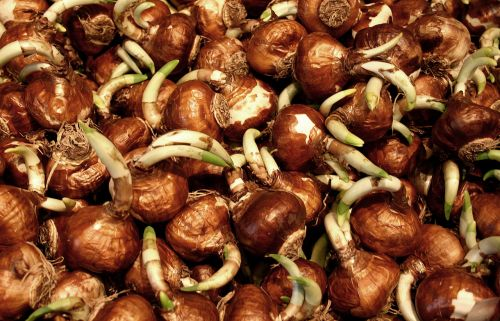 Bulbs Sprouting