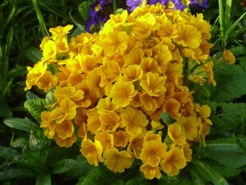 Golden Primula