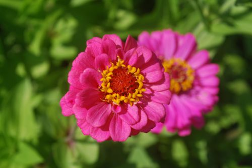 gėlė, rožinis, žiedlapiai, makro, rožinė gėlė