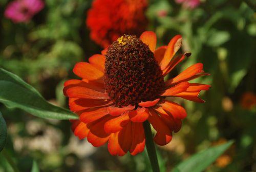 gėlė, zinnia, žiedlapiai, makro, graži gėlė