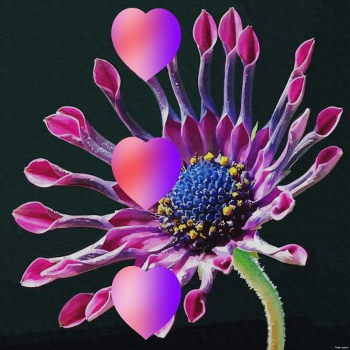 3 Hearts And African Daisy