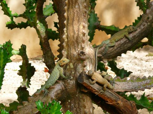 Iguanas On The  Tree