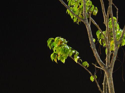 medis & nbsp, naktį, medis, peizažai, juoda, fonas, naktinis medis