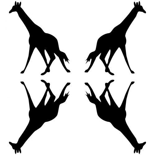 4 Giraffes