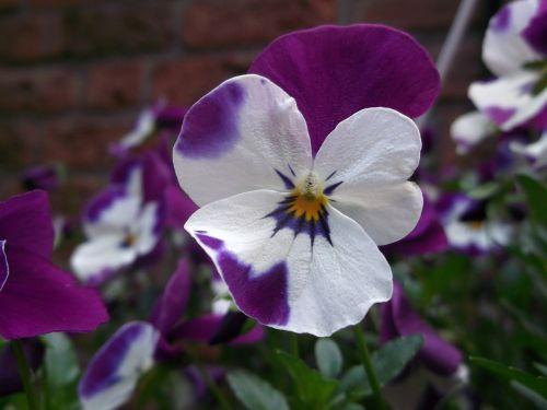 400-500,violetinė,violaceae,gėlė