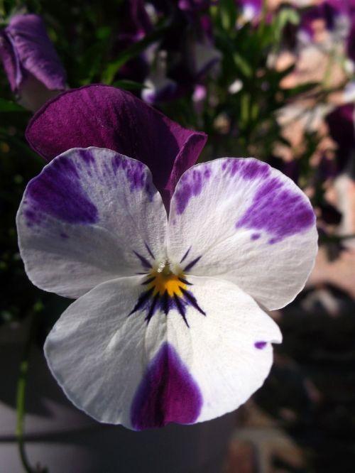 400-500,violetinė balta,violaceae,gėlė