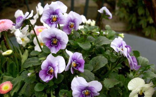 400–500 violet horn violet