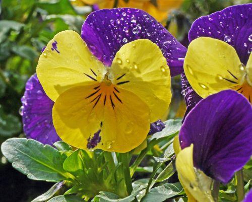 400–500 early bloomer drip