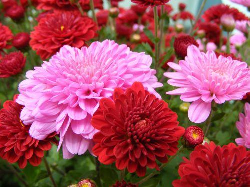 mums, chrizantemos, spalva, spalva, skaitmeninis, nuotrauka, fotografija, mamai