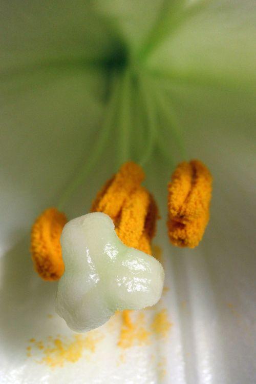 gražus, žydėti, flora, gėlė, lelijos, lelija, augalas, balta, žiedadulkės, pistil, antetas, žiedlapiai, makro, lilly