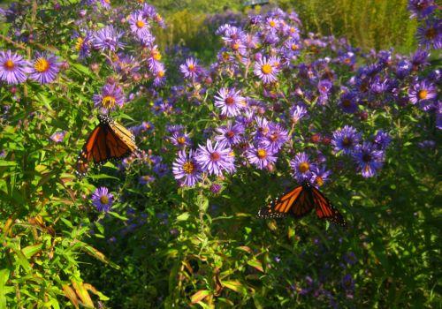 Two Monarch Butterflies