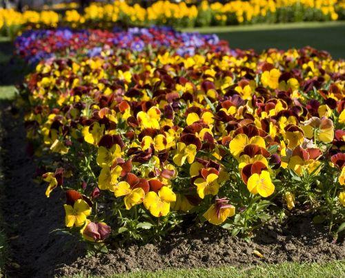 Pansy, gėlė, gėlės, lova, geliu lova, žydėti, žiedas, pavasaris, Pansy