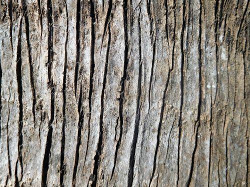 palmės žievė,žievė,sidabrinės faneros palmės žievė,natūralus,tekstūra,gamta,delnas,medis,augalas