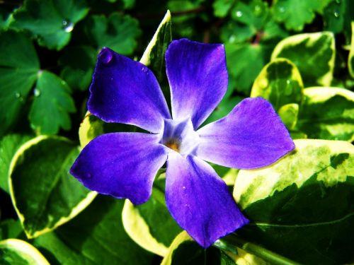 a bluish-purple flower spring flower garden