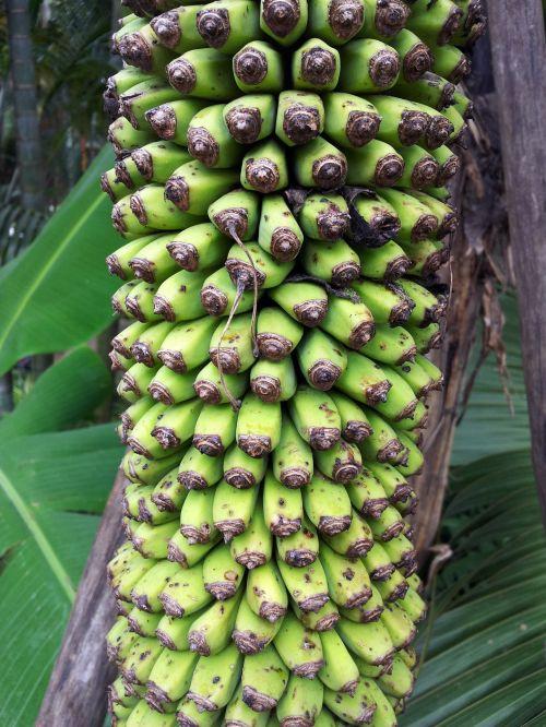 A Chunk Of Baby Banana On The Tree