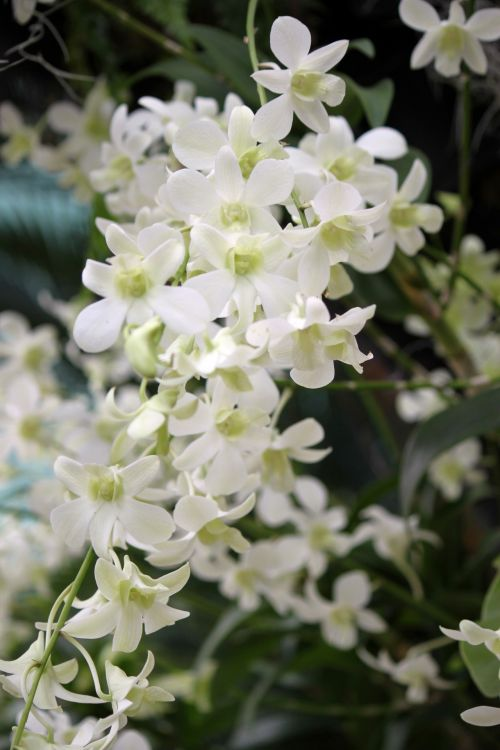 A Chunk Of White Orchid Flower
