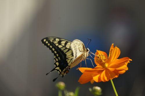 a common yellow swallowtail eaten feathers papilio machaon